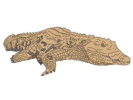 Digitally Handdrawn Illustration of a wildlife crocodile --- isolated on white background