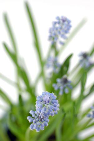 muscari grape hyacinth (hyacinth armeniacum) against white ground; differential focus