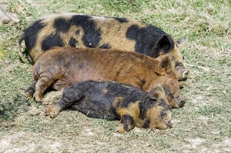 Three little pigs; three sleeping Kuni Kuni piglets, apparently smiling; extremely cute!
