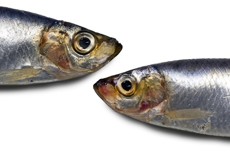 Sprats near miss; two sprats head-to-head; isolated on white ground Stock Photo