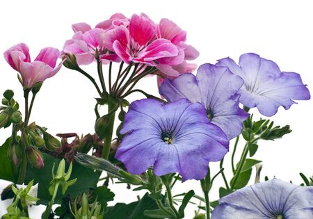 geranium color: Geranium and petunia flowers