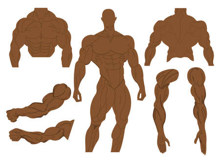 Anatomie musculaire d'un corps humain. Anatomie musculaire masculine. Illustration vectorielle