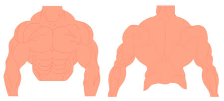 Muscles anatomy of a human body.Male muscular anatomy. Vector illustration