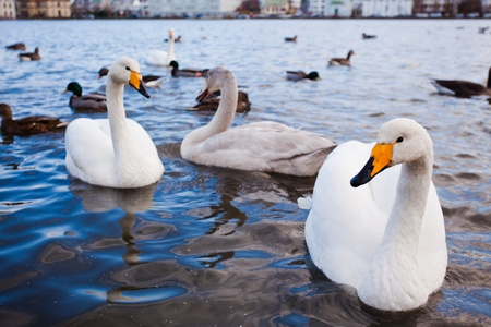 Ducks and swans on the lake Tjornin in Reykjavik, Iceland Stock Photo