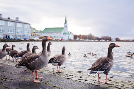 reykjavik: Ducks and swans on the lake Tjornin in Reykjavik, Iceland Stock Photo