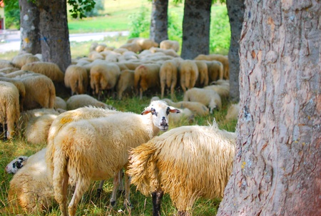 Sheep in the country of Montenegro photo