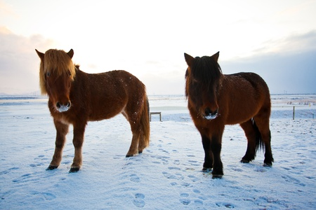 Flock of Icelandic horses grazing in the meadow photo