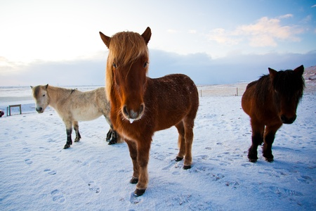 Flock of Icelandic horses grazing in the meadow, Iceland, Scandinavia Stock Photo