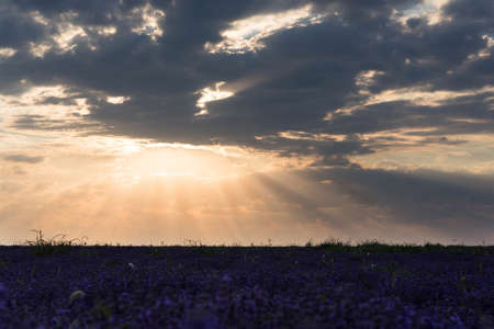 lavande: Photo of purple flowers in a lavender field in bloom at sunset with rays of light in the clouds, moldova