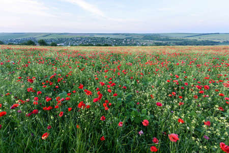 castelluccio: Beautiful landscape with poppy flowers filed at sun set in moldova near a village.