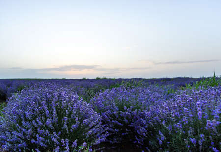 lavendin: Photo of purple flowers in a lavender field in bloom at sunset, moldova Stock Photo