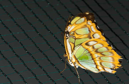 common blue: Close up photo of big brown butterfly with green dots on yellow wings stand on a grid.