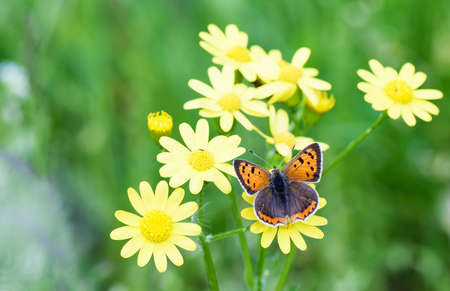 Photo of brown butterfly on yellow flowers in spring over green photo of brown butterfly on yellow flowers in spring over green grass background stock photo mightylinksfo