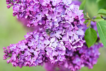Macro image of spring lilac flower over soft abstract green background and a pollinating bee, shallow focus 스톡 콘텐츠