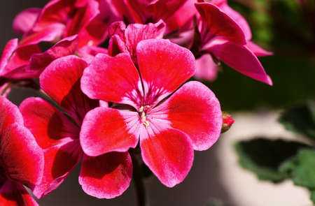 Close up photo of beautiful carnation red and pink flowers.