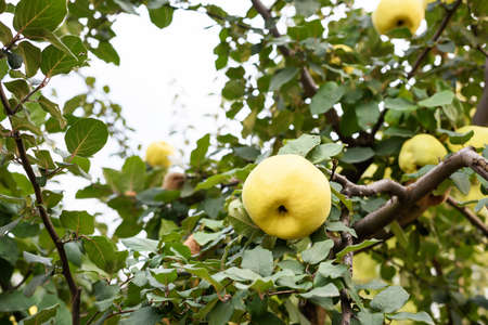 quinces: Yellow ripe quince on a tree in Moldova Stock Photo
