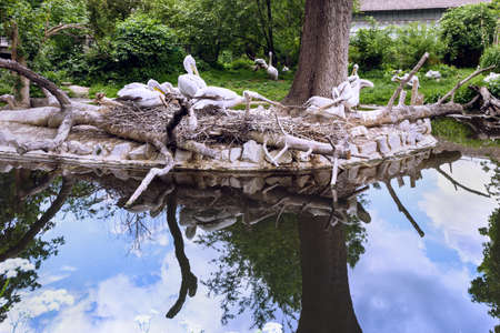 White pelican group at the lake with reflection, pelecanus onocrotalus also known as the eastern white pelican in schonbrunn zoo, vienna, austria