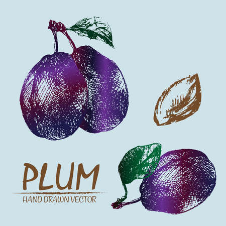 Digital vector detailed color plum hand drawn retro illustration collection set. Thin artistic linear pencil outline. Vintage ink flat style, engraved simple doodle sketches. Isolated objects Illustration