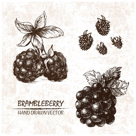 Digital vector detailed brambleberry hand drawn retro illustration collection set. Thin artistic linear pencil outline. Vintage ink flat style, engraved simple doodle sketches. Isolated objects