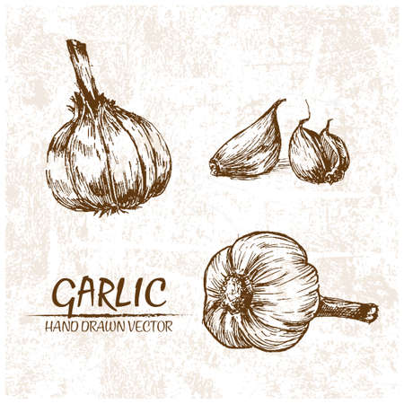 Digital vector detailed garlic hand drawn retro illustration collection set. Thin artistic linear pencil outline. Vintage ink flat style, engraved simple doodle sketches. Isolated objects