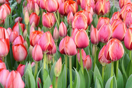 Pink tulips, close up, in a flower field, spring time, bardar village, moldova Stock Photo