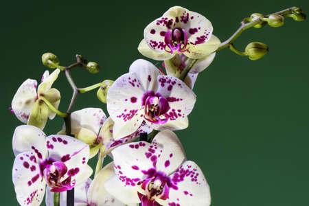 Weiße Und Lila Blühende Orchidee Bouquete, Nahaufnahme, Frühling ...