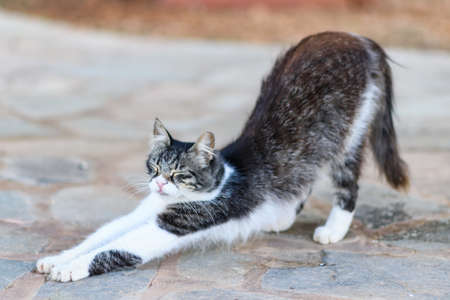 Cute cyprus black and white cat with green eyes on the street in summer, stretching