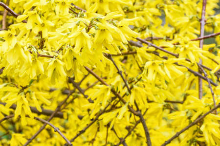 Dark yellow leaves of the shrub orchard blossoms on a spring day
