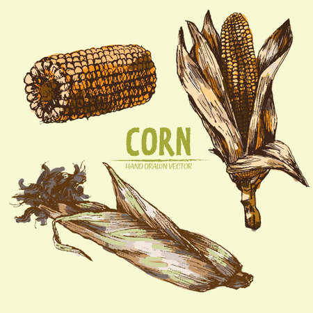 Digital vector color detailed corn hand drawn retro illustration collection set. Thin artistic linear pencil outline. Vintage ink flat style, engraved simple doodle sketches. Isolated objects Stock Photo