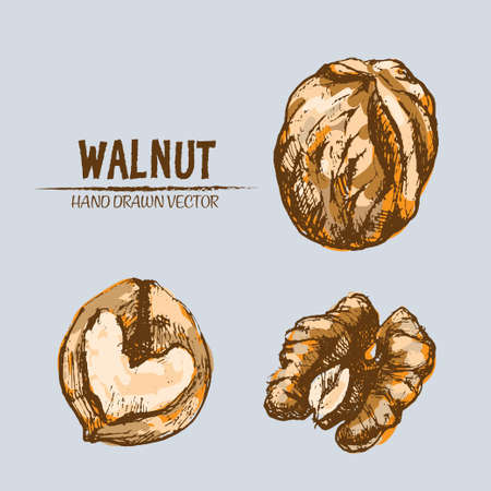 Digital vector detailed walnut hand drawn retro illustration collection set. Thin artistic linear pencil outline. Vintage ink flat style, engraved simple doodle sketches. Isolated objects