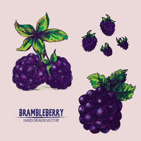 dewberry: Digital vector color detailed brambleberry hand drawn retro illustration collection set. Thin artistic linear pencil outline. Vintage ink flat style, engraved simple doodle sketches. Isolated objects