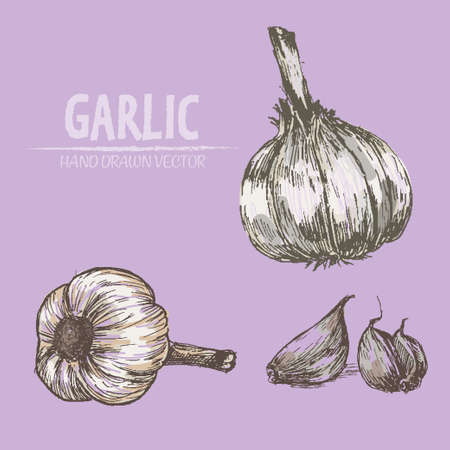cloves: Digital vector color detailed garlic hand drawn retro illustration collection set. Thin artistic linear pencil outline. Vintage ink flat style, engraved simple doodle sketches. Isolated objects
