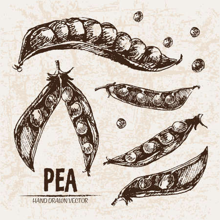 green bean: Digital vector detailed line art pea vegetable hand drawn retro illustration collection set. Thin artistic pencil outline.
