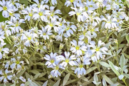Hintergrund Der Kleine Weiße Blumen Blühen Busch Lizenzfreie Fotos ...