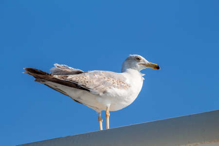 seabird: Seagull sitting on the ship sea portrait. Greece, Corfu. Clear sky background Stock Photo