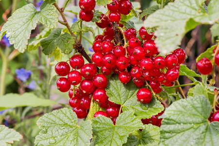 guelder rose berry: Fresh bunch of red virburnum on branch. After rain photo. Fresh organic guelder rose with green leaves in village garden. Seasonal fruit, fall harvest and medicinal plant concept.