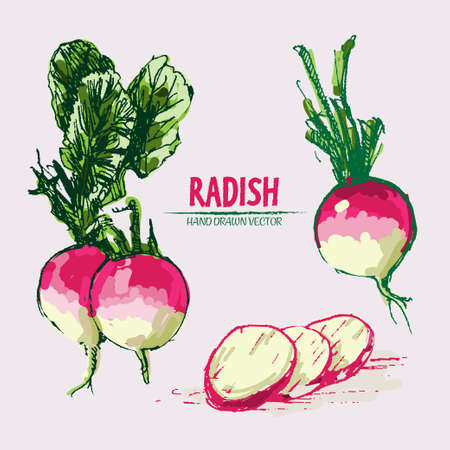 Digital vector detailed line art color radish vegetable hand drawn retro illustration collection set. Thin artistic pencil outline. Vintage ink flat style, engraved simple doodle sketches. Isolated