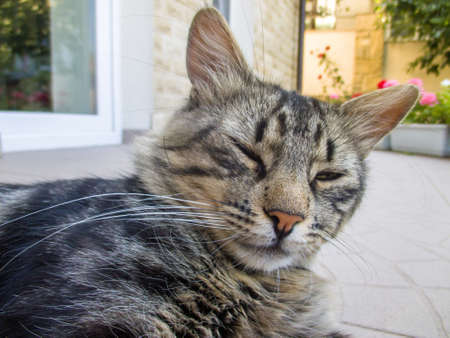 Sleepy cat turning head while laying on ground in a hot day. House and garden background Stock Photo