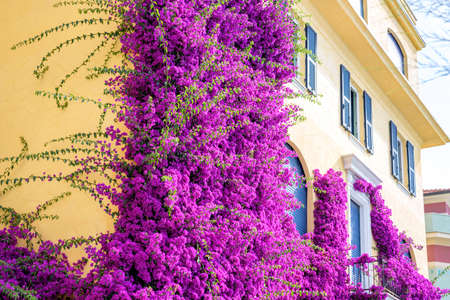 beauties: Beautiful bright purple flowers on a yellow building. Monterosso al Mare, Italy. Cinque Terre beauties. Stock Photo