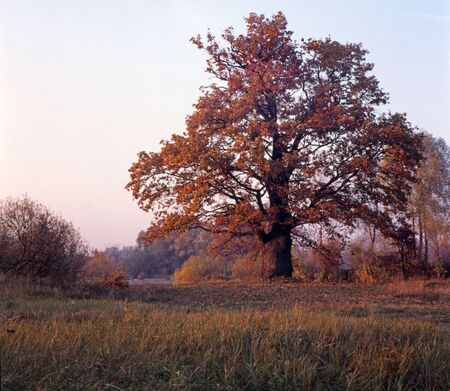 Old oak with reddish leaves in autumnal evening
