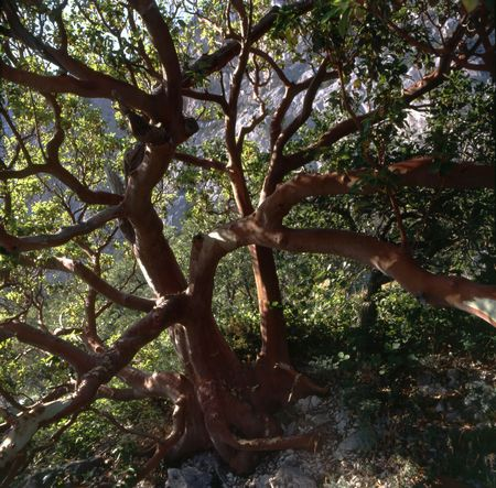 Old Greek Strawberry Tree (Arbutus andrachne) in Crimea Stock Photo
