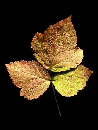 rubus: Leaf of European dewberry (Rubus caesius) isolated on black background