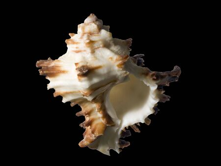 Sea conch isolated on black