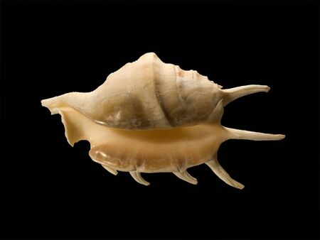 Sea conch with long spikes isolated on black Stock Photo