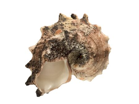 Shell of sea mollusk isolated on white background
