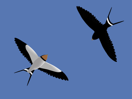 Two barn swallows flying in the sky Vector