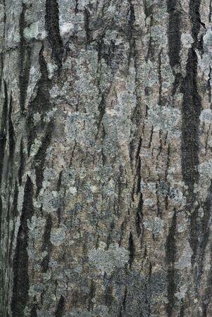 Bark of Common Hornbeam (Carpinus betulus) with lichens