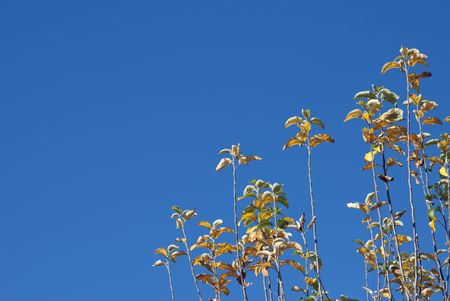 Branches of apple-tree with yellow leaves on blue sky background Stock Photo