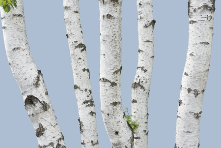 Birch trunks isolated on low saturated blue background