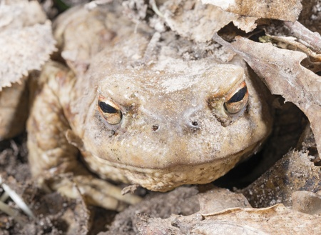 Snout of Common Toad (Bufo bofo) Stock Photo